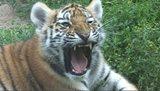 Tygřice Nina má dvě mláďata
